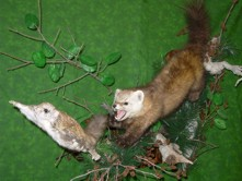 marten chasing flying squirrel